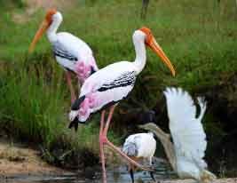 птицы шри-ланка